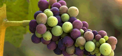 How many grapes are on a cluster? photo