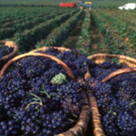 Who much wine do you get out of a ton of grapes? photo