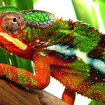 Chameleon Wine photo