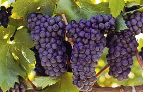 The Proadly South African Grape photo