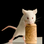 Red wine extracts help mice photo