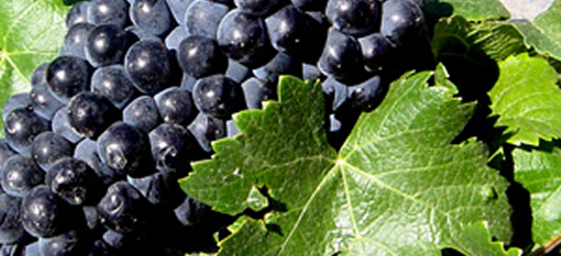 Pinotage: South Africa's Pride and Joy photo