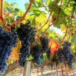 1 vine = 10 bottles photo