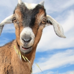 Coffee's magical powers were first realized through the majesty of crazy goats photo