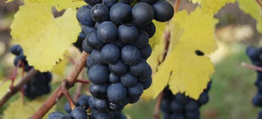 The Age of Pinot Noir photo