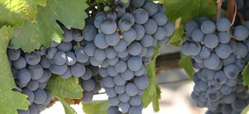 The grapes with the highest tannin photo