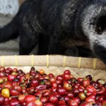 Rare Coffee made from Civet Faeces selling for R80 a cup in South Africa photo