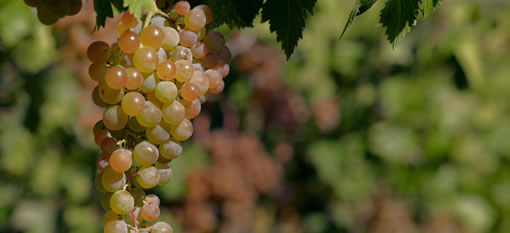 The most widely planted grape in Argentina is… photo