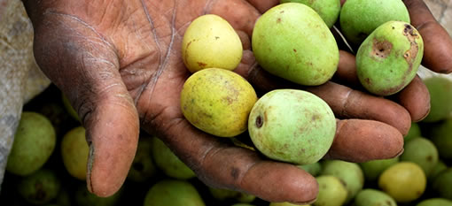 The Golden Fruit of Africa photo