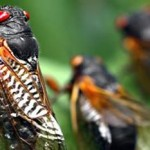 Adventurous eaters chow down on cicadas photo