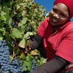 A look at the South African Pinotage photo