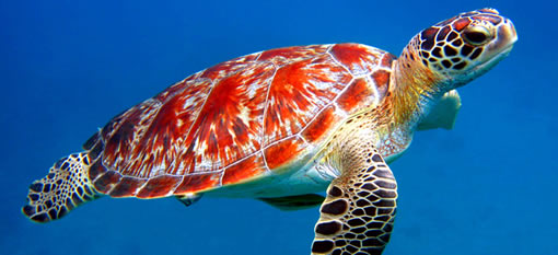 Beer benefits sea turtles photo