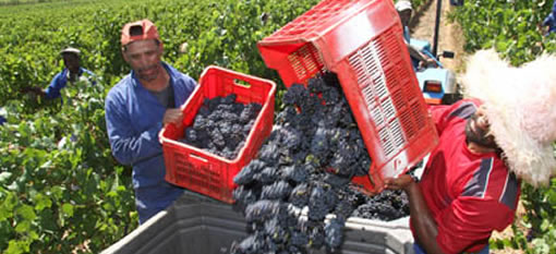 At Simonsig Estate the Heat is on for the 2015 Harvest photo