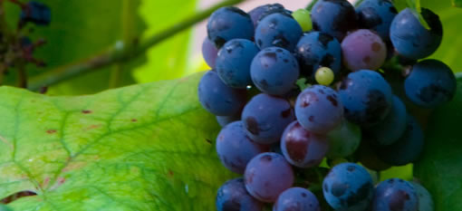 Worst grape harvest in half century photo