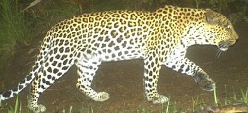 Cape Mountain Leopards Spotted on Da Capo Vineyards photo
