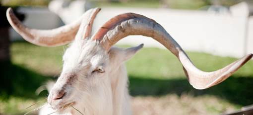 Fairview`s Billy Goat Help Save The Rhino photo