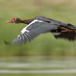 Of swans and spur-winged geese at Steenberg photo