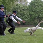One of the Queen's Swans Found BBQed Near Windsor Castle photo