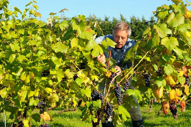 Welsh vineyards hail 2013 as a great year for Welsh wine photo