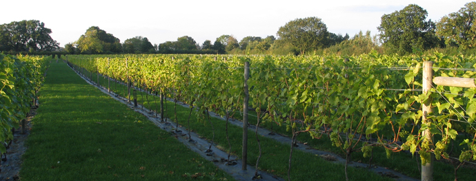 Yorkshire Heart Vineyard reaps what promises to be its best harvest ever photo