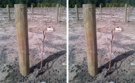 Solms-Delta plants first Macabeau in SA photo