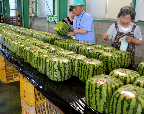 Spb food so there are square watermelons in japan - Square watermelons how and why ...