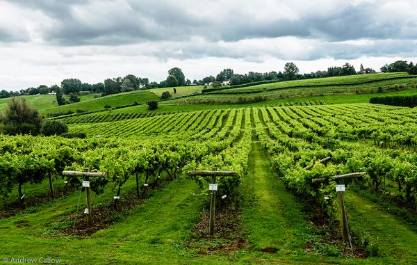 Climate Change Could Boost British Wine Industry photo