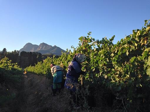Harvest 2014 at Backsberg photo