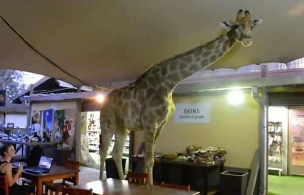 A Giraffe walks into a bar…No really! photo