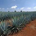 New Sweetener From The Tequila Plant May Aid Diabetes and Weight Loss photo