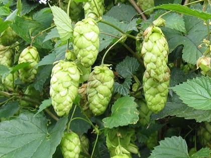 British aromatic hops sought by craft brewers photo