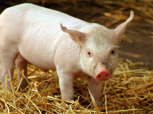 Why whiskey-flavoured pork might be hogwash photo