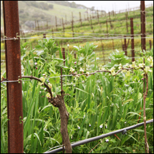 Is Being Sustainable Worth It For Wineries? photo