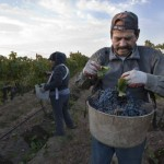 Washington's grape growers expect third consecutive record year photo