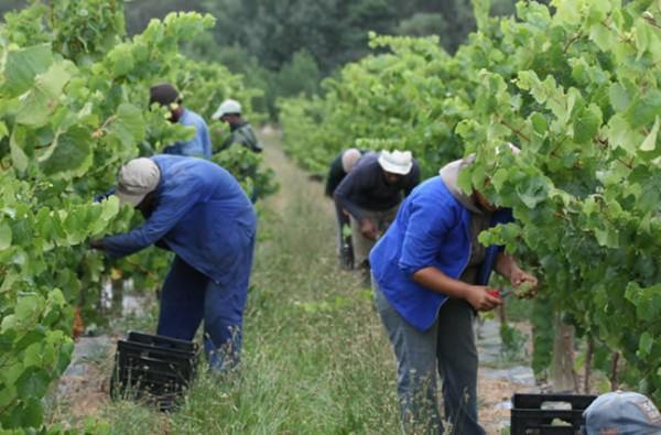 The Art of Winemaking: Harvest photo