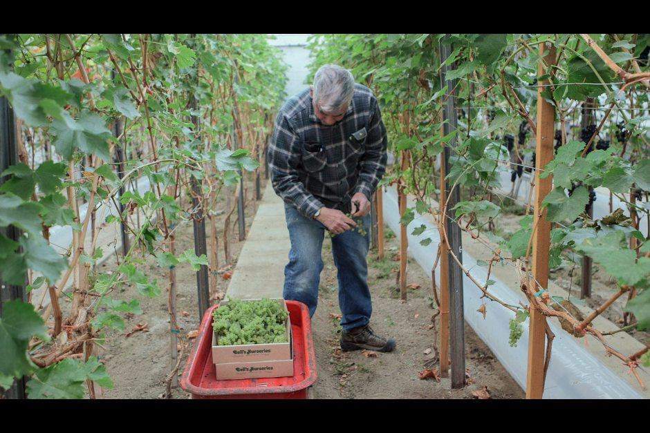 Tomato grower toys with the idea of a winery in Alaska photo