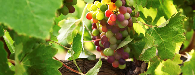 Fewer Grapes for South African Wine as El Nino Damages Harvest photo