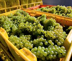 harvest lanzerac Harvest News from Lanzerac Estate