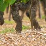 Does soil truly influence the flavour of wine? photo