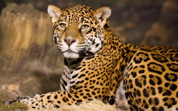 Announcing the 2015 Cape Leopard Trust fundraising event photo