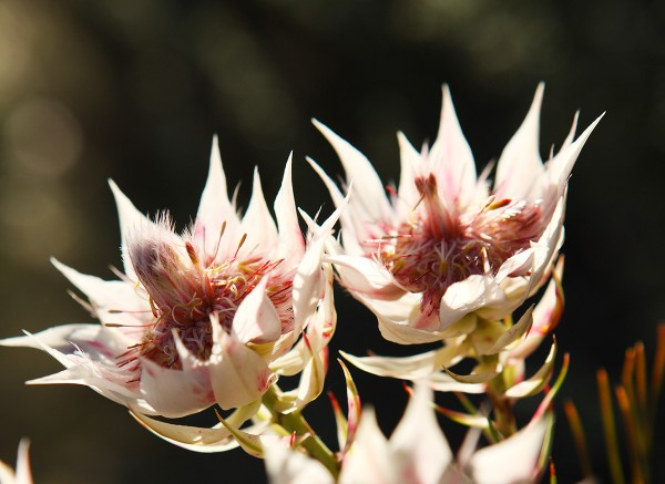 Fragile Fynbos: Ceramic sets inspired by the Cape Floral Kingdom photo