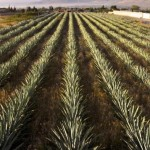 California-Grown Agave Is Making Tequila Sustainable photo