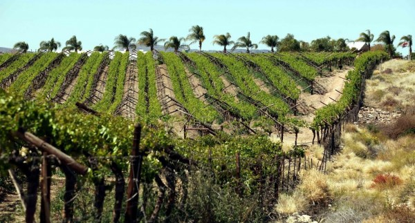 orange river vineyards e1448606002784 Two Top 100 SA Wine Spots for Orange River Cellars