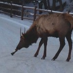Colorado Elk sips wine from bottle photo