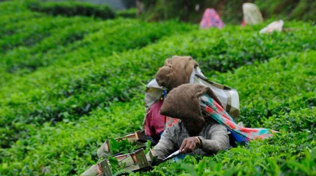 Tea production dips in 2015 on adverse weather photo