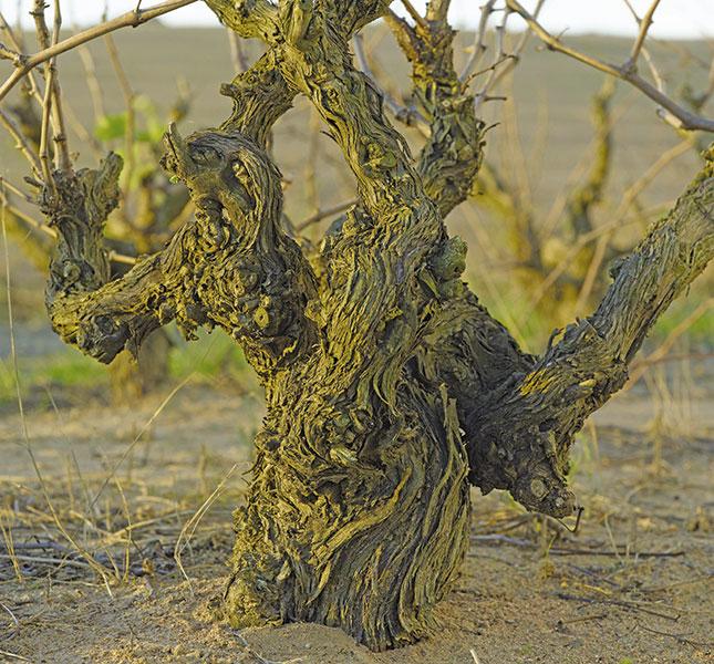 The Darling Of Bush Vine Wine photo