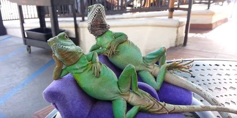 This man took his pet iguanas and their tiny chaise longues to a coffee shop photo
