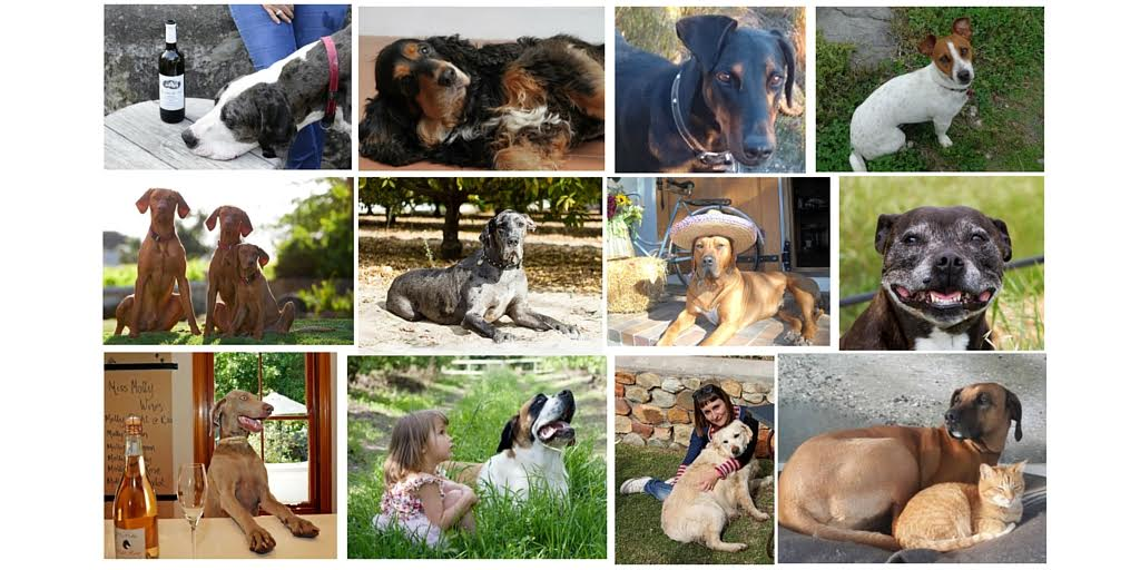 Vote for the Franschhoek Wine Dog of the Year and win photo