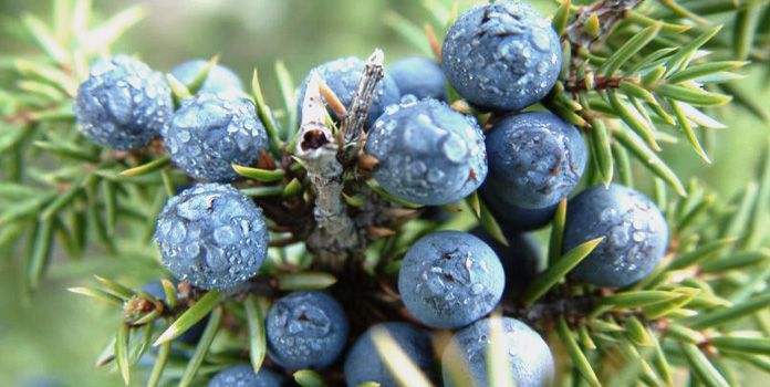 Nearly all juniper used in gin is picked wild photo
