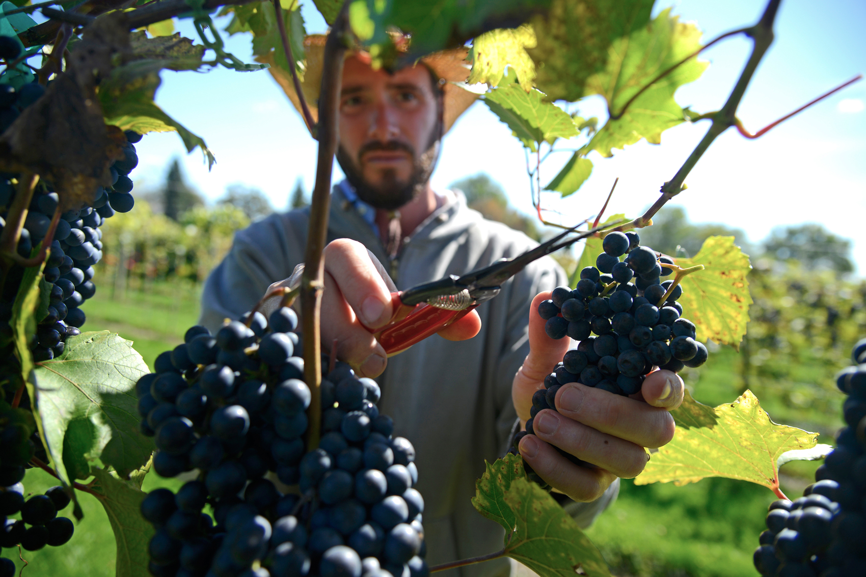 University announces new wine grape photo